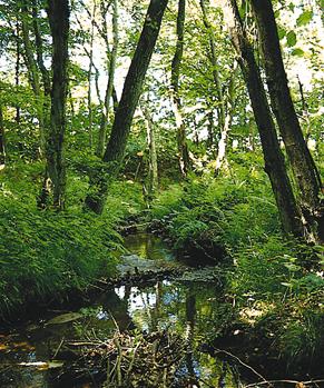 Skov og vandløb